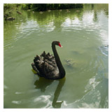 Churchill's pond with a black swan